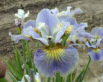 Siberian Iris Echo The Wind