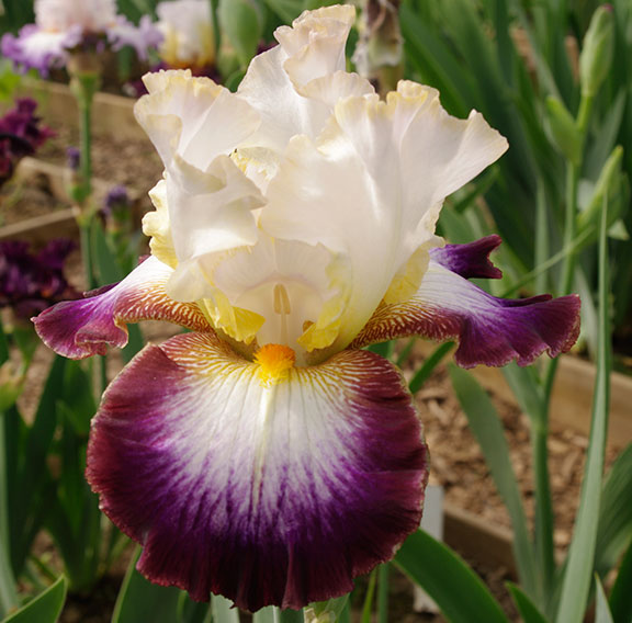 Edge Of Heaven TB iris