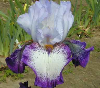 Eternal Waltz TB Iris