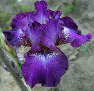 TB Iris Flashy Fancy