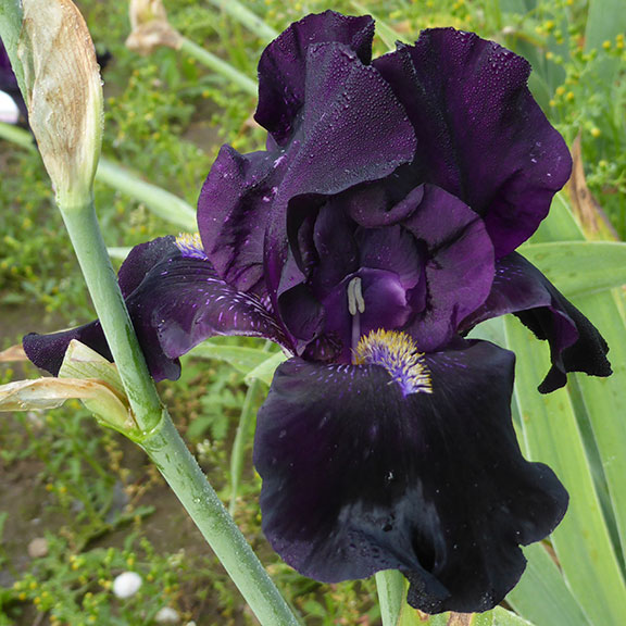 Here Comes The Night iris