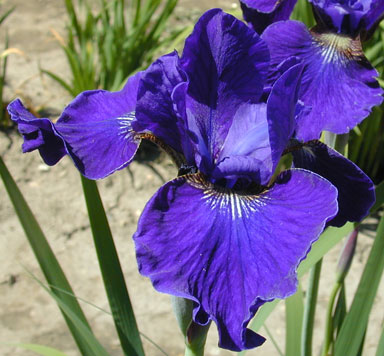 High Standards Siberian Iris  chapmaniris.com