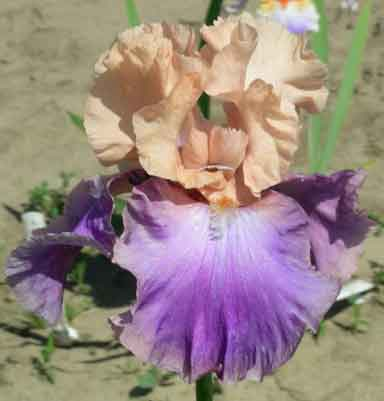 Poem Of Ecstasy TB Iris