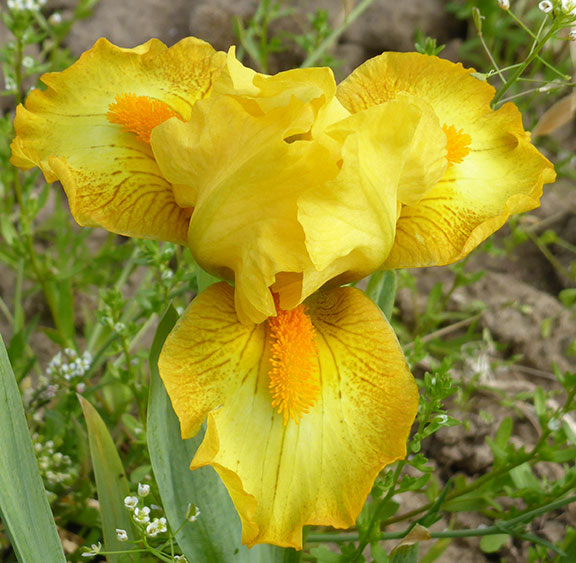 Quarter Moon SDB iris