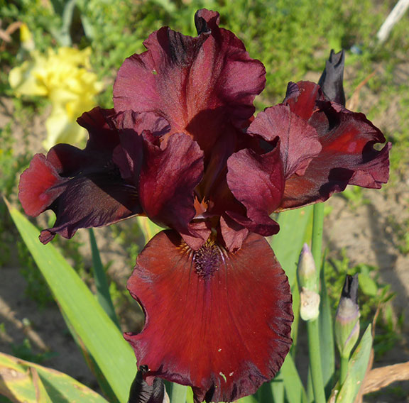 Red Dirt Road iris