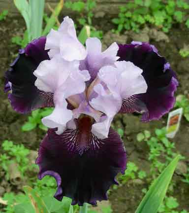 Royal Togs  TB Iris