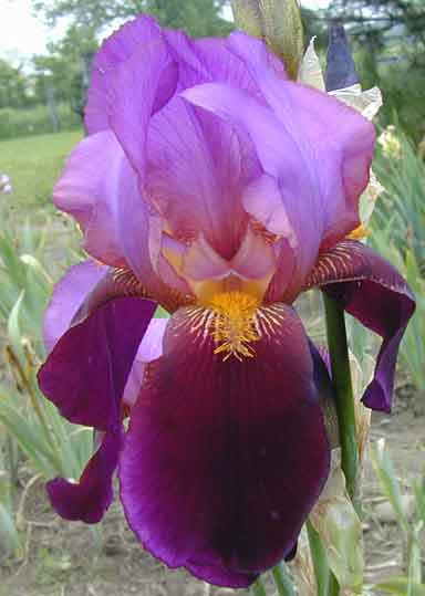 Vice Regal TB Iris
